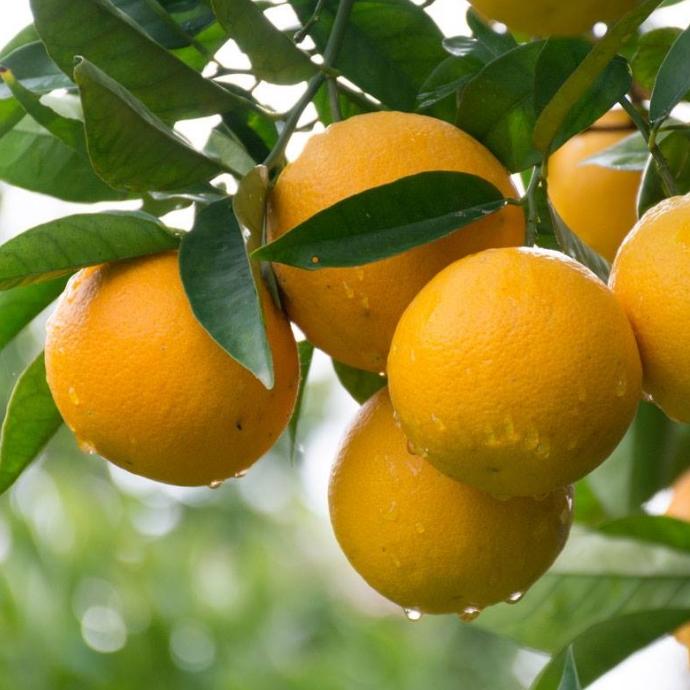 עצי פרי והדר