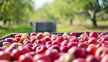 apples-10048...